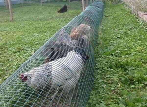 These DIY chicken tunnels are a solution you hardly can solve cheaper
